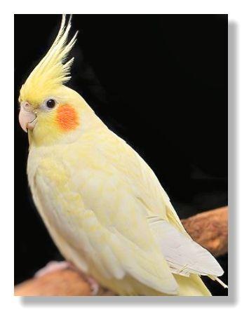 黄色の羽毛をもつオカメインコの画像