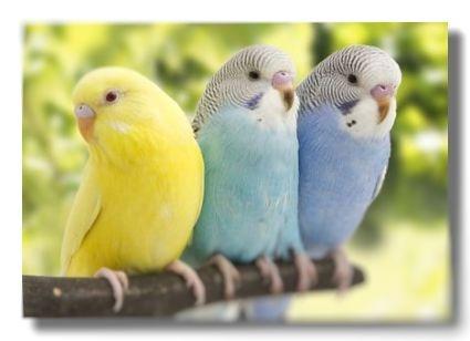 三羽のセキセイインコが止り木に並んで止まっている様子。