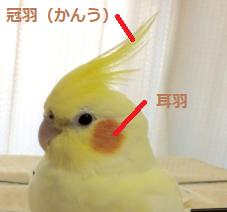一部のオウムやオカメインコには、特徴ともいえる冠羽が頭にあります。