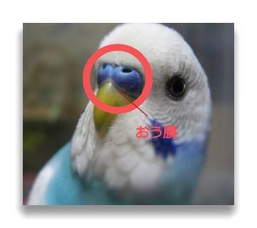 おう膜はクチバシのつけ根にあり、鼻に覆いかぶさるように存在します。そのため鼻腔を確保するために二つの穴があります。メスとオスで色の違いがあります。