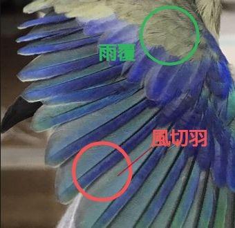 翼の部分には大きな羽が生えています。この大きな羽を風切羽と呼ぶ。それを覆うようにある小ぶりな羽が雨覆と呼ばれる羽。