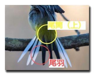 尾に生える大きな羽を尾羽、その根元を覆うように生える羽が尾筒です。