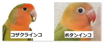 左はコザクラインコの画像です。黒目が大きくクリクリしてて可愛らしいです。右はボタンインコの画像です。コザクラインコに比べると黒目が小さく、アイリスリングと呼ばれる白目にあたる部分が大きくはっきり見える特徴があります。