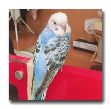 オパーリンは後頭部から背部のしま模様はなく、羽にはさざなみ模様があります。背中とお腹の羽色が同じです。