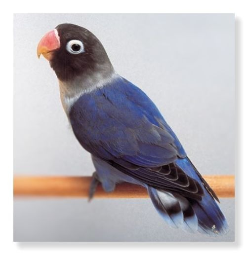 ピンクのくちばしと黒色の頭部、青色の体色が特徴のブルーボタンインコです。