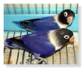 バイオレットボタンインコです。真っ黒な頭ですが首から胸回りは白。羽・背部・尾羽は鮮やかな濃い青・バイオレット色をしています。