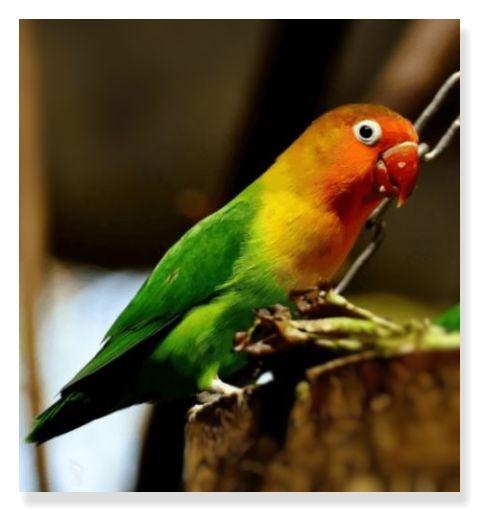 ノーマルボタンインコは赤いくちばしと緑・黄色・オレンジ・黒などカラフルな特徴があります。
