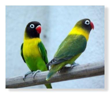 真っ黒な頭部で真っ赤なクチバシ。首から胸部にかけて鮮やかな黄色。黄色の襟のようにみえるためキエリクロという名前が付いたようである。