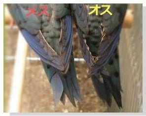右がメスで尾羽に黒い斑がわずかにあります。左がオスで尾羽に黒い斑がはっきりと多くあります。