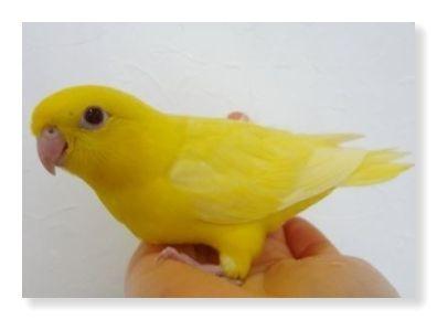 鮮やかな黄色が美しいルチノーサザナミインコ