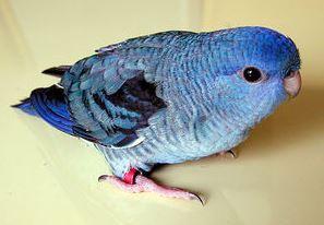 タイコーズブルーサザナミインコは不完全な青色が特徴のインコ