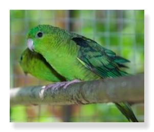 緑が鮮やかなサザナミインコ