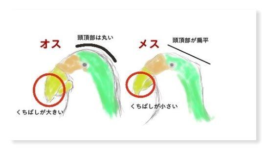 左側はオスの画像。オスの外見的な特徴は頭頂部が丸みをおびていてくちばしがメスより大きいこと。右はメスの画像。メスの外見的な特徴は頭頂部が扁平でくちばしがオスより小さい。