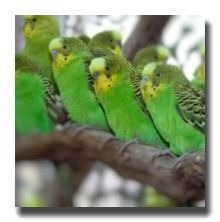 野生のセキセイインコは黄色の顔に緑色の体、頭から背中と翼にかけて黒のしま模様が入っている1種類しか存在しません