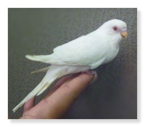 アルビノコザクラインコはメラニン色素を持たないため真っ白な羽毛で目は赤い。