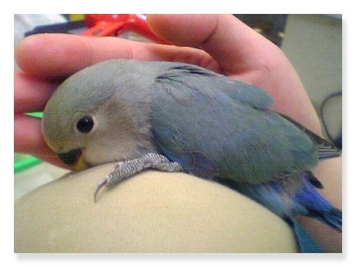 バイオレットコザクラインコは青紫色の羽が特徴的な種類です。
