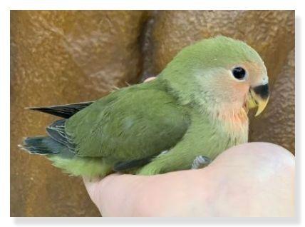 オリーブコザクラインコはノーマルににた色合いだが、緑が濃いのが特徴。