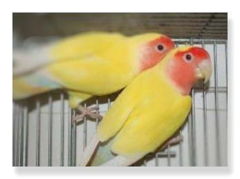 黄色の羽と額から胸にかけてはいる赤色が特徴のルチノーコザクラインコ
