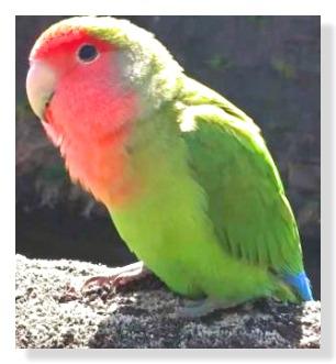 コザクラインコは緑色の体に額から前胸部にかけては赤い色をしています。