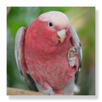 濃い桃色の体の羽毛と薄い桃色の貨運が特徴的なモモイロインコ
