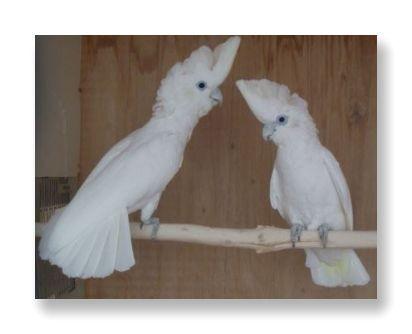 クチバシ・羽毛・足が真っ白なソロモンオウム
