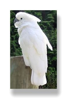 タイハクオウムは真っ白です。