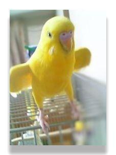 インコが羽を広げるような動作をしています。これは体温を放熱するための行動です。