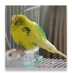 羽を膨らませて空気をためこんでいるため、セキセイインコの体が倍に膨らんで見えます。