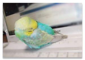 寒がるインコは顔を羽にうずめます。羽の間の温かい空気で呼吸することで体温を保とうとするためだといわれている。