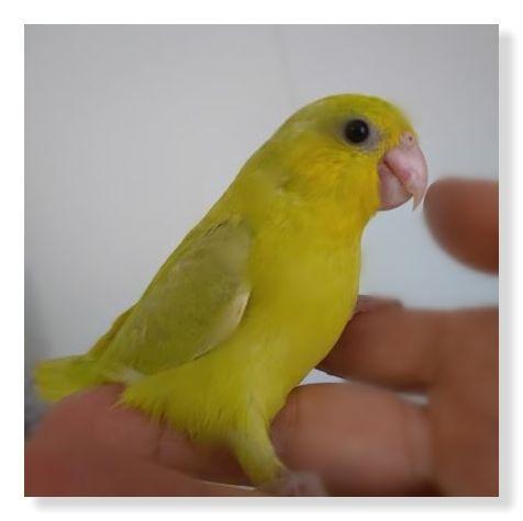 アメリカンイエローという種類のマメルリハインコ。黄色いです。
