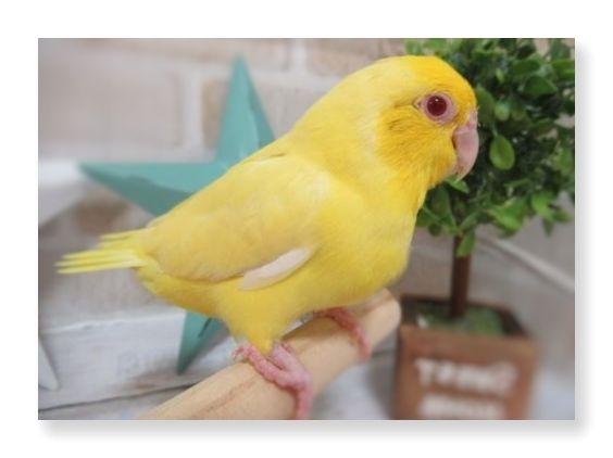 マメルリハのルチノーは全体的に黄色いのと、目が赤いのが特徴です。
