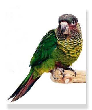 バタイロビタイウロコインコは顔がバラ色をしている美しい中型インコ