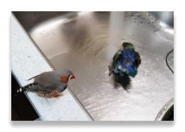 放鳥時にシンクの水道水から水浴びしているインコ