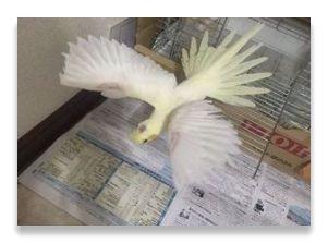 ケージにつかまって羽を広げているのは縄張りの表現