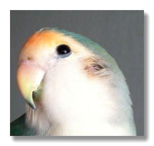 耳孔はインコの眼球のやや下、後方にあります。
