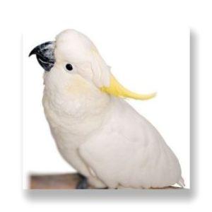黄色い冠羽と白いからだが特徴のキバタン、オウムの仲間。